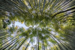 bamboo, forest, nature