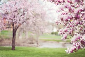 magnolia trees, springtime, blossoms